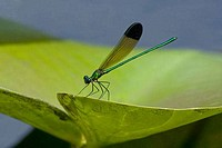 Close_up of a River Jewelwing Calopteryx aequabilis on a leaf