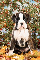 Boxer dog _ puppy sitting on autumn foliage