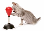 kitten with punching bag