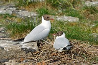 Black_headed Gull _ pair at nest / Larus ridibundus