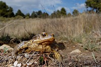 Common toad (Bufo bufo) in Mariola mountains, Valencia, Spain
