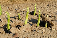 Garden Asparagus, Sparrow Gras, Wild Asparagus Asparagus officinalis, green asparagus, Germany, Rhineland_Palatinate