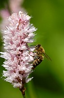common bistort, meadow bistort Polygonum bistorta, Bistorta major, inflorescence with pollinator, Germany, North Rhine_Westphalia