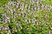Flowering thyme full_frame