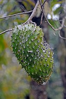 Durian fruit (Durio zibethinus), on a tree, Daintree National Park, Queensland, Australia