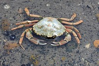 Crab in the Wadden Sea, Foehr Island, Schleswig_Holstein, Germany, Europe