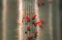 Monkey tail cactus Cleistocactus jujuyensis, Cleistocactus hyalacanthus, Cleistocactus straussii var. jujuyensis,, blooming