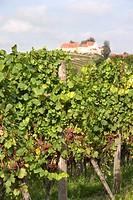 grape_vine, vine Vitis vinifera, vine with fruits and castle, Germany, Baden_Wuerttemberg, Ortenau, Durbach