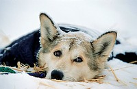 Sled dog or Husky lying in the snow, portrait