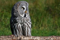 Great Grey Owl, Lapland Owl (Strix nebulosa)