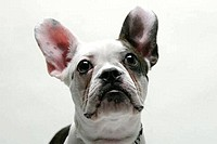 Close_up of a French bulldog puppy