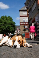 angeleint,Aussenaufnahme,Begleithund,einzeln,Familienhunde,frontal,Hochformat,Jagdhund,Junghund,kurzhaarig,Mensch,Ruede,sitzen,Stadt,tricolour,warten,...