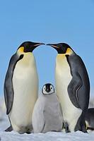 Tier,Tiere,Vogel,Voegel,Pinguin,Pinguine,Kaiserpinguin,Kaiserpinguine,Eltern,Vater,Vaeter,Mutter,Muetter,Tierkind,Tierkinder,Tierbaby,Tierbabies,Jungt...