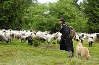 domestic sheep Ovis ammon f. aries, shepherdess with herd, Germany, Hesse, Kellerwald NP