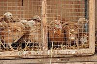 domestic fowl Gallus gallus f. domestica, in a box on market, Spain, Majorca