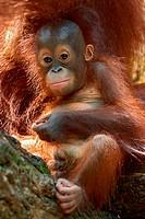 orang_utan, orangutan, orang_outang Pongo pygmaeus, portrait of a cheeky orangutan baby playing