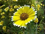 Tidytips, Tidy tip Layia platyglossa, blooming