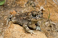 natterjack toad, natterjack, British toad Bufo calamita, juvenile, Spain, Burgos, Embalse del Ebro, Ebro Talsperre
