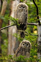 ural owl Strix uralensis, two youngs sitting on a branch, Germany, Bavaria, Bavarian Forest