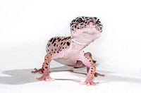 Leopard gecko Eublepharis macularius, on white ground