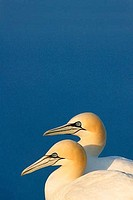Gannet Morus Bassanus Northern Gannet 2 two adults pair couple breeding bonded in evening sun in summer against blue sky Saltee Islands Ireland Europe...
