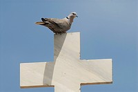collared dove Streptopelia decaocto, on the cross of a greek chapel, Greece, Limnos