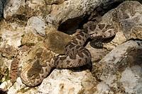 Coastal viper, European coastal viper, Ottoman viper, Near East viper Vipera xanthina, Daboia xanthina, Montivipera xanthina, juvenile, Greece, Thraki...