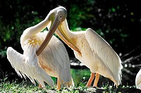 eastern white pelican, great white pelican Pelecanus onocrotalus, plumage care
