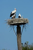 white stork Ciconia ciconia, nest, Germany