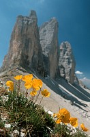 Rhaeticum Poppy Papaver rhaeticum, blooming in front of mountains, Italy, Dolomites, Drei Zinnen