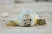 gray seal Halichoerus grypus, young lying on the beach, Germany, Schleswig_Holstein, Heligoland