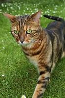 Bengal Felis silvestris f. catus, sneaking through a lawn