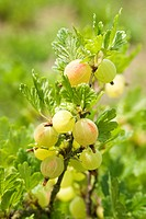 wild gooseberry, European gooseberry Ribes uva_crispa, branch with fruits