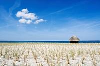 blue lyme grass Elymus arenarius, Lymus arenarius, dune fixation at sandy beach, Germany, Mecklenburg_Western Pomerania