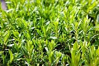 hyssop Hyssopus officinalis, twiglets