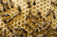 Bees (Apis melifera carnica) in a beehive