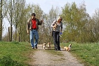 Chihuahua Canis lupus f. familiaris, couple taking theier five Chihuahuas out for a walk