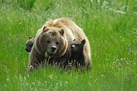 brown bear Ursus arctos, mother with two pups in high grass