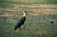 woolly_necked stork Ciconia episcopus, with Blacksmith Lapwings, Zimbabwe, Hwange National Park