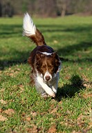 Border Collie Canis lupus f. familiaris, running in meadow, Germany