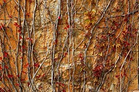 Autumn climbing plant wall texture background in warm fall colors