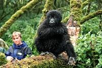 mountain gorilla Gorilla gorilla beringei, with tourists, Democratic Republic of the Congo, Virunga National Park
