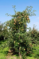 apple tree Malus domestica, Apple tree with fruits, Germany, Lower Saxony, Altes Land