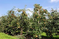 apple tree Malus domestica, plantation, Germany, Lower Saxony, Altes Land