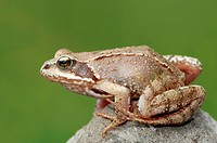 common frog, grass frog Rana temporaria, single animal, Germany, North Rhine_Westphalia