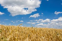 Ripe Wheatfield (Triticum) in Wetterau, the granery of Hesse, Germany