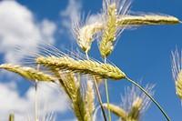 Ripe Barley (Hordeum vulgare)
