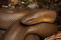 Northern Rubber Boa (Charina bottae), Oregon, USA - Found in Northwestern U S  - S w  Canada - Eats primarily young of small mammals - May be common i...