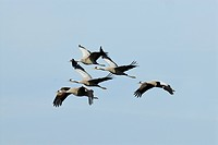 common crane Grus grus, crane migration, Germany, Mecklenburg_Western Pomerania