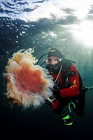Lion's mane jellyfish (Cyanea capillata) and diver. Barents Sea, Russia